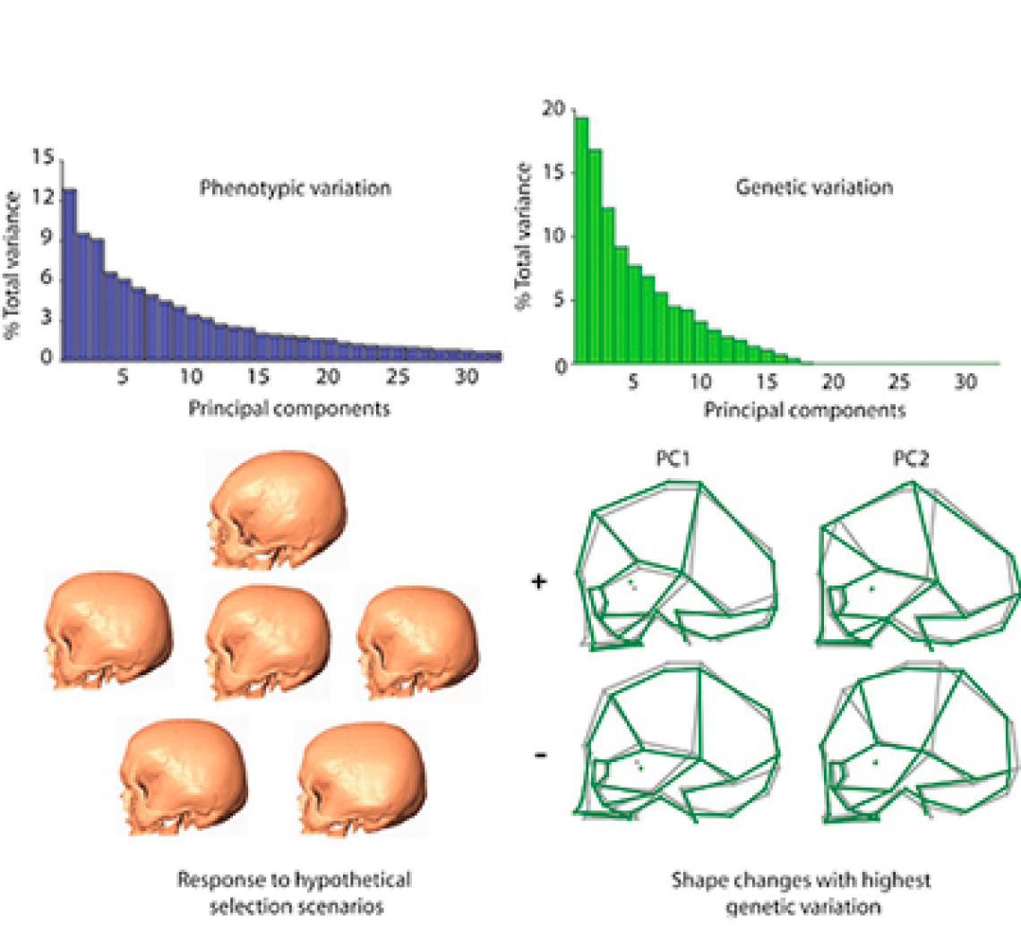 From Phenotype to Genotype: The Genetic Basis of Shape