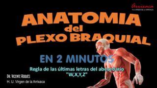 Anatomía del plexo braquial